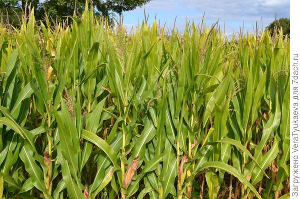 Кукуруза - защитница огурцов.
