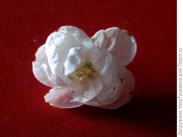 Махровый цветок яблони.