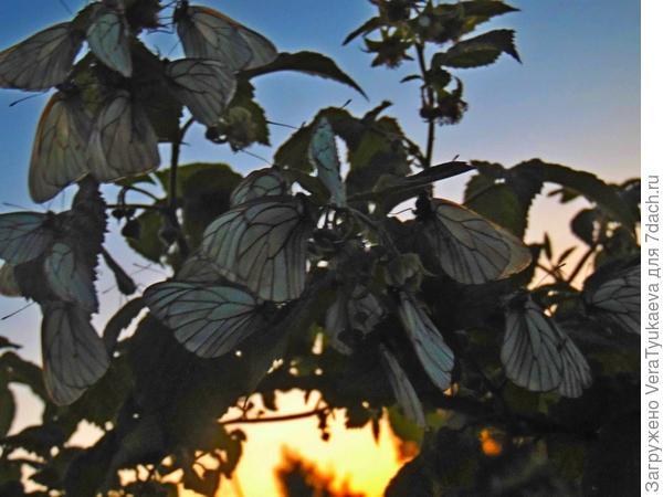 Уникальные цветы малины.