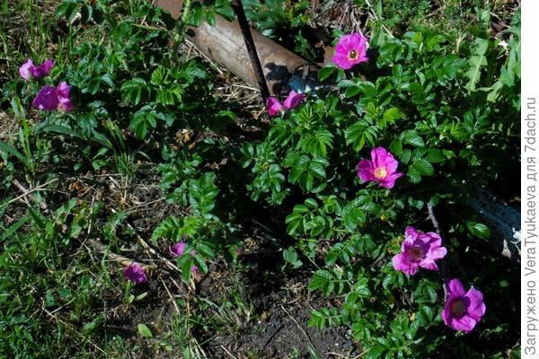 Шиповник цветет.