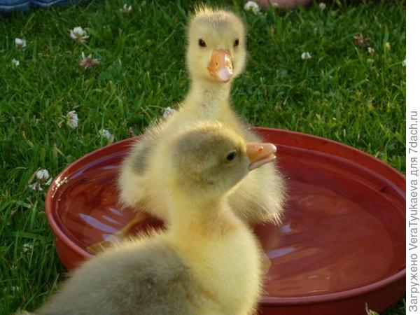 Гусята купаются в чашке воды.