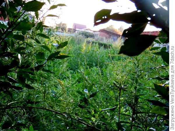 Уже не сидераты, уже сорняки. Фотографировала тайно, чтобы соседи не видели. На этом участке растет картофель, но его среди зарослей сорняков уже давно не видно.