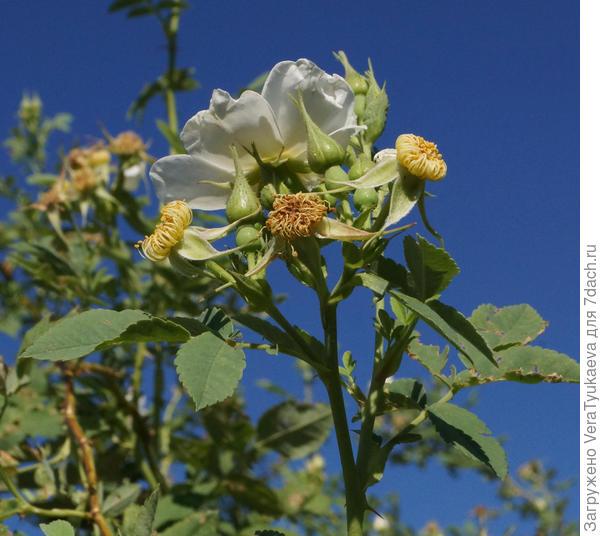 Фотография с сайта www.plantarium.ru