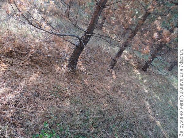 Лес, в котором растут маслята.