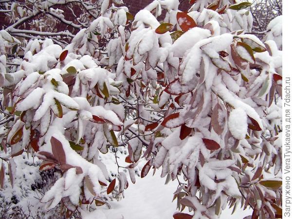 Елочка в снегу - предвестник новогодней красоты. Деревья, не успевшее сбросить листья, в снегу - предвестник весенней сильной обрезки или корчевки.
