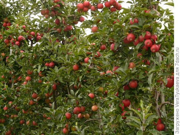 Сад яблонь-колонн.