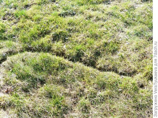 Вот так весной выглядят торные тропы мышей. По ним мыши добираются до еды. И до яблонь, до луковиц лилий...