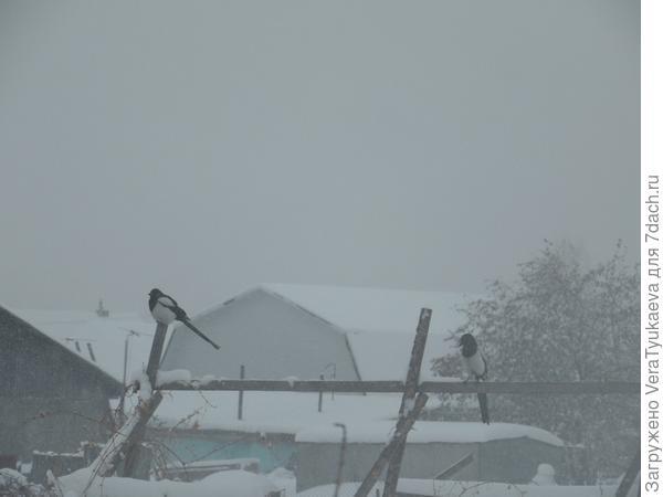Сороки в снежном мареве.