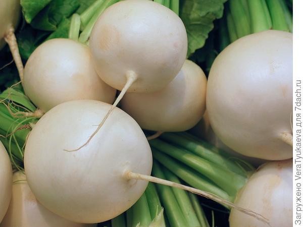 Белые корнеплоды.