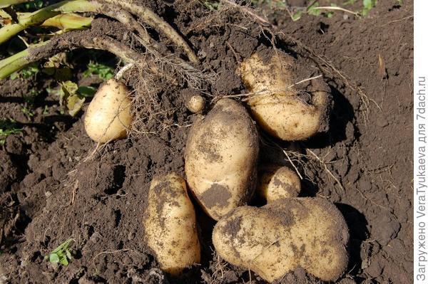 Картошечка.