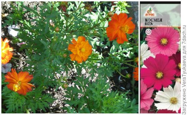 Космея Красный ковер и моя новинка космея Вега, она пока в виде семян в пакетике.
