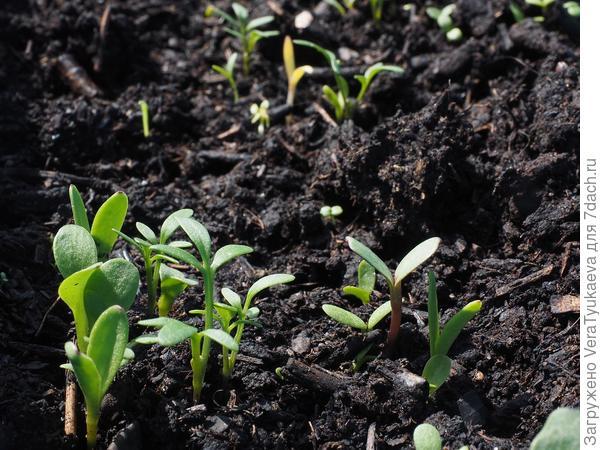 Росточки - будущий урожай... не важно чего... овощей или семян сорняков - все нужно почве!