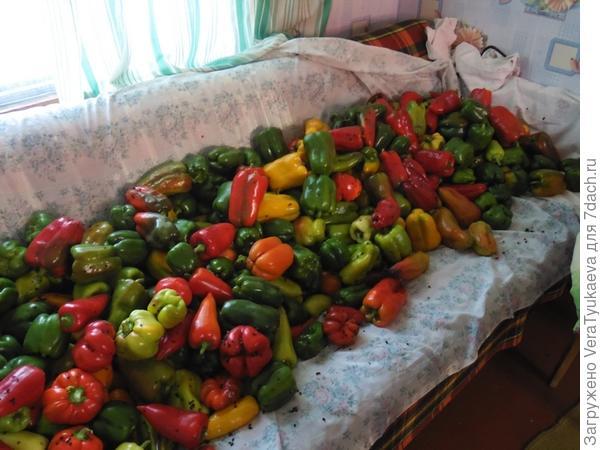 Урожай перцев, выращенных в грунте.