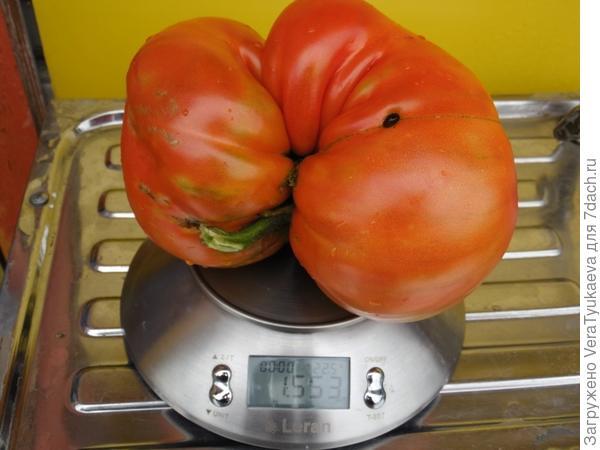 Чемпион среди помидоров в 2017 году. Вес 1553 грамма.