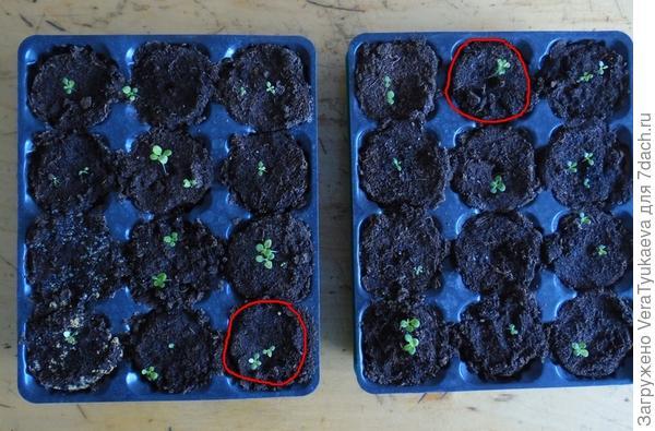Красным выделены ячейки с ростками Василисы 22 марта.