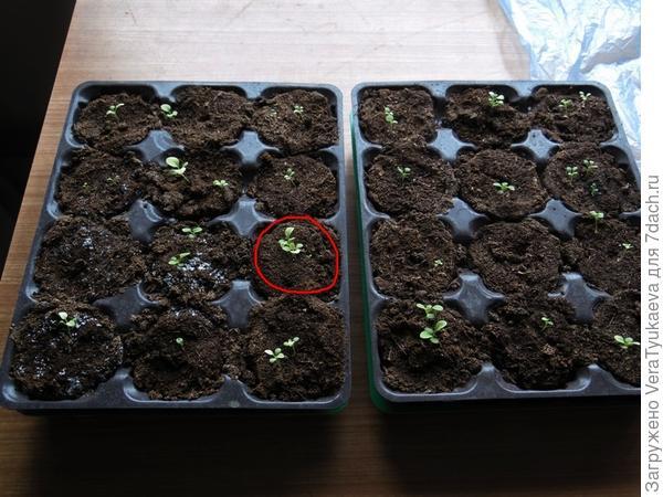 Красным выделена ячейка с ростками Александры 24 марта.