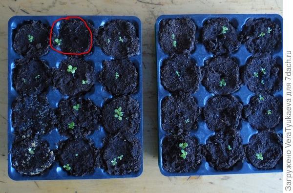 Красным выделены ячейки с ростками Татьяны 22 марта.