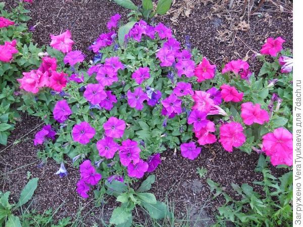 Вот они вокруг лиловой.