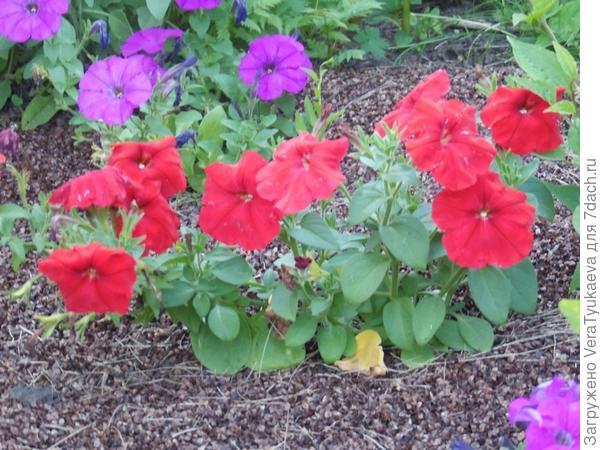 Красная комплиментуния соседствует с лиловой.