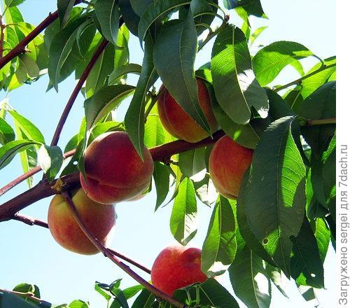 сроки обрезки персика
