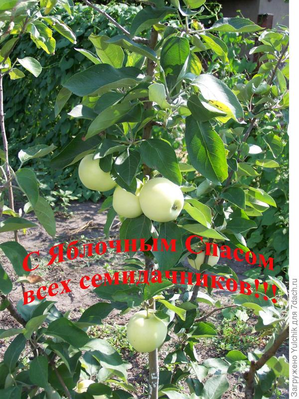 Поздравляю всех семидачников с Яблочным Спасом!