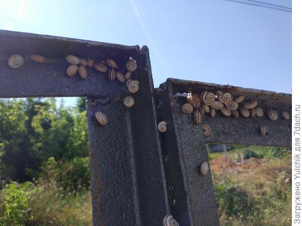 В этом году просто нашествие маленьких улиток. Как от них избавиться?