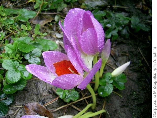 Безвременник византийский (Colchicum byzantinum) в  период цветения