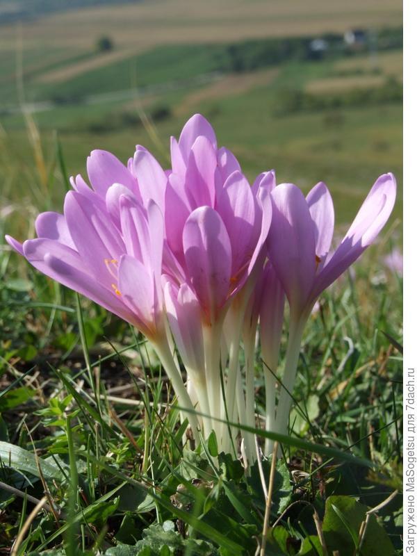 Безвременник осенний (Сolchicum autumnale) в период цветения