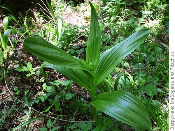 Безвременник великолепный (Colchicum speciosum) в период роста листьев