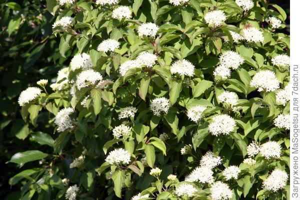 Дерен белый (Cornus alba)
