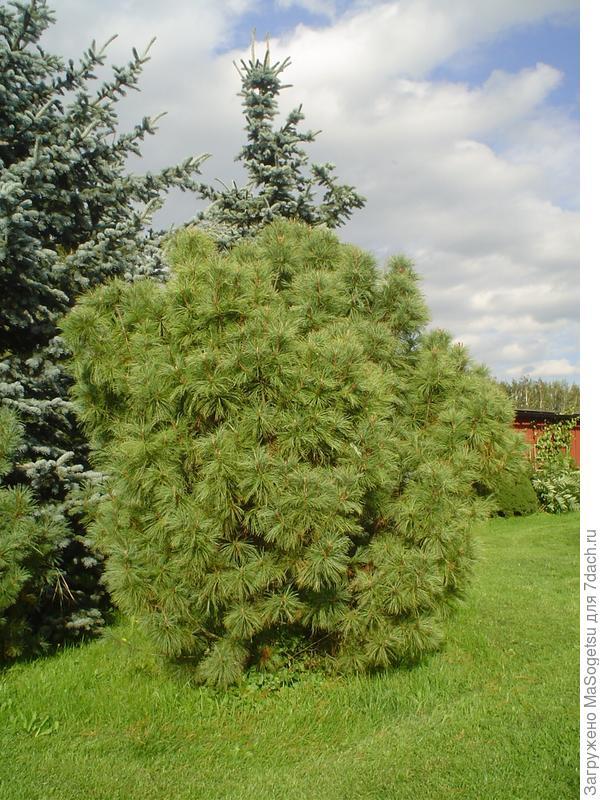 Pinus pumila (кедровый стланик)