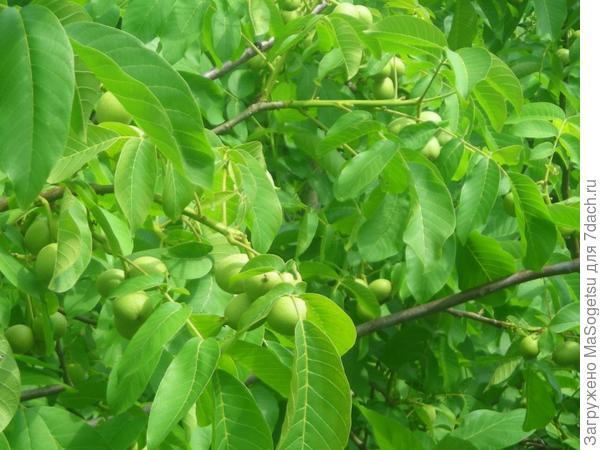 Грецкий орех сорта Идеал. Фото с сайта blueberry.su