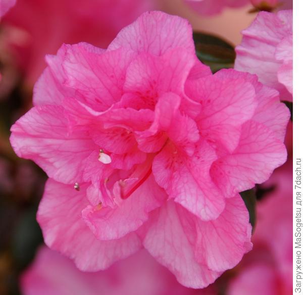 Азалия японская (Azalea japonica) Peticout