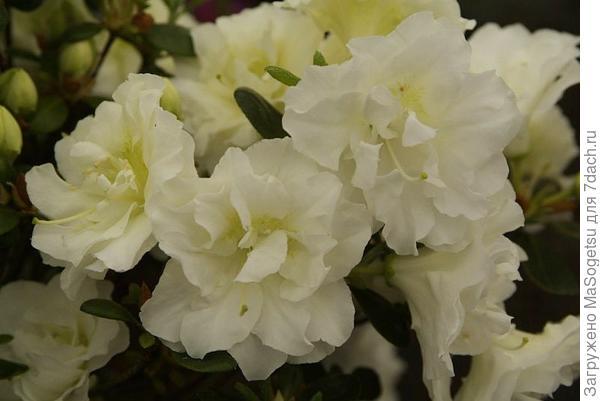 Азалия японская (Azalea japonica)  Schneeperle