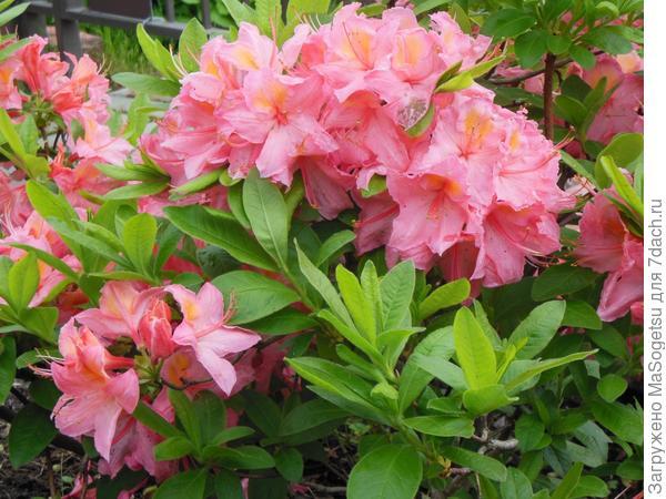 Азалия листопадная крупноцветковая гибрид knapHill