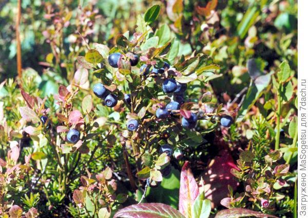 черника обыкновенная (Vaccinium myrtillus)