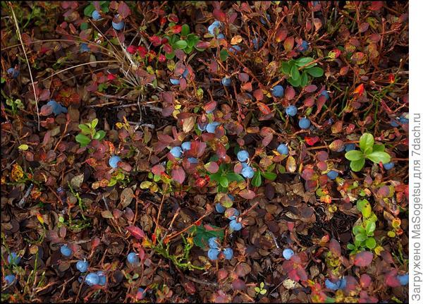 Черника обыкновенная (Vaccinium myrtillus) вид сверху