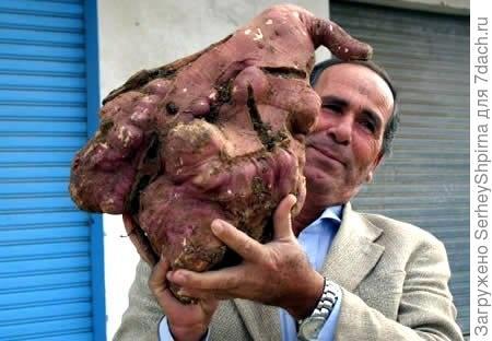 Самый большой картофель ( 11,2 кг)