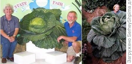 Самая крупная капуста (34,4 кг)