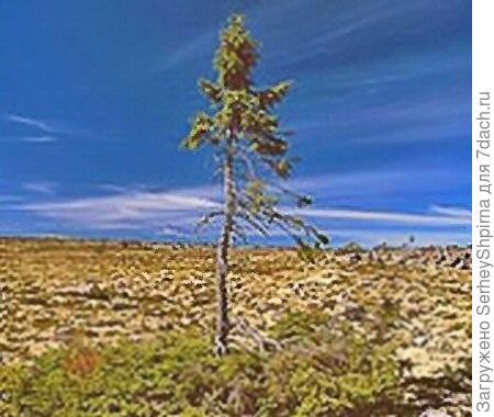 Самое старое дерево на планете.