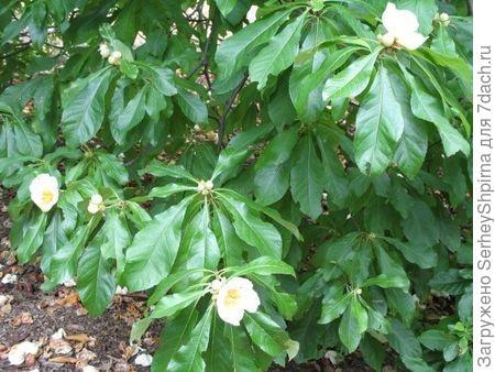 Растение Franklinia alatamaha