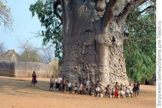 самое толстое дерево