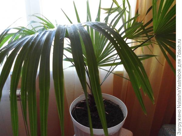 Эту  пальму  купила в  виде  маленького отростка  размером  в   5  сантиметров  в   пластмассовом  стаканчике из под  воды. Случайно  занес  на работу   покупатель .   Это  было   в    годы  перестройки и  тогда   подобная  экзотика  была    действительно   экзотикой  и  в   цветочных  магазинах  ничего  подобного  и не было.   Сказал,  что  пальма  и  растет  на  юге  на  улице .    Принесла домой и посадила   и  уже  много  лет    (  около  18-20)  растет в нашей квартире. Названия  не  знаю-просто пальма  и  радует  нас   ,хотя  уход  в  определенной  степени  сложноват  из-за  отсутствия   солнечного  света в   квартире  -но  люблю  её. И  ещё  заметила-перенесли в зал, сразу  стала  бунтовать,  как  приболела  и нижние  листья  стали  желтеть.  Я  пальму  скорее  на  прежнее место-удивительно,  но  все  встало  на  свои  места.