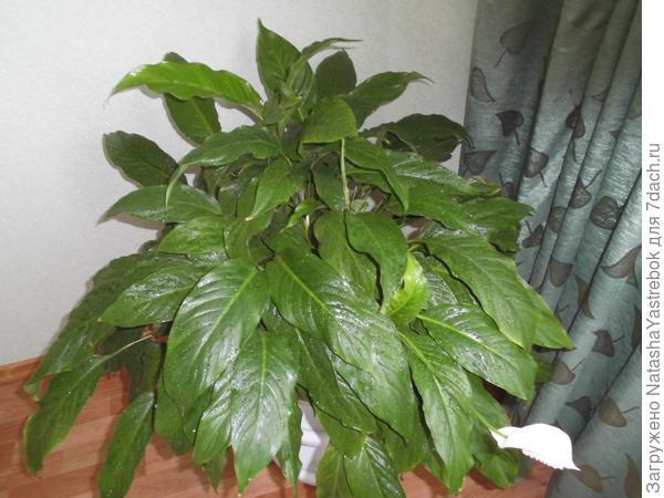 Спатифиллум   приносит отблеск тепла в дом. Изысканный аромат нежных цветов и  узкие листья оживляют комнату.   Наилучший свет зимой, полутень летом, избегать прямого летнего солнца. Температура В течение всего года 20-22°С. Регулярно опрыскивать листья.  Пересадку делаю весной  ежегодно . Поливаю Обильно  с весны до осени, умеренно зимой. Регулярно подкармливаю летом любым удобрением.При пересадке  получается несколько  растений  , раньше  оставляла  себе  ,а  сейчас раздаю    знакомым-никогда не  выбрасываю  даже  малого  черенка.
