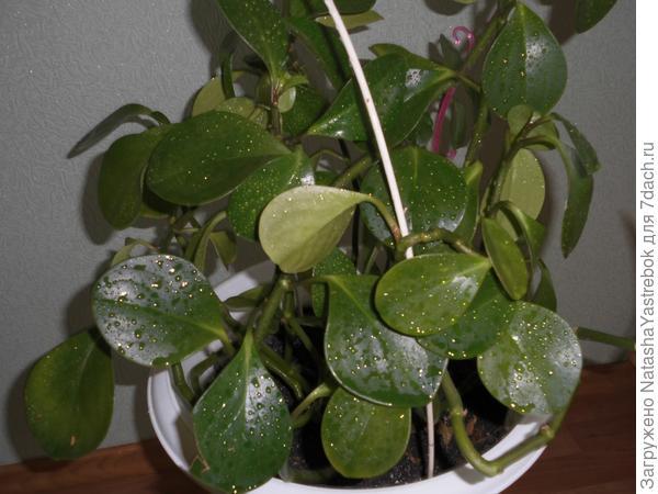 Пеперомия  клузиелистая              в  вазоне  Температура воздуха: Растения нуждаются в относительно теплом содержании круглый год. Растения плохо переносят сквозняки, их рекомендуется не выносить на свежий воздух.   Полив весной и летом обильный, мягкой отстоянной тепловатой водой. В осенне-зимний период полив умеренный. Земля в горшке между двумя поливами должна как следует просохнуть. Излишнее переувлажнение для растений опаснее, чем случайное подсушивание, так как оно может привести к загниванию корней и стеблей. С другой стороны, длительная пересушка приводит к увяданию и опадению листвы. Подкормка с весны до осени 2 раза в месяц, зимой ежемесячно удобряют комплексным цветочным удобрением.Обычно  растет   взрослое растение  как  лиана-я  решила  посадить  в вазон  и  сделать  подставки  в  виде  арок -растет .