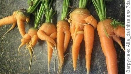 Вот такая смешная морковка вырастает, если её побеспокоить