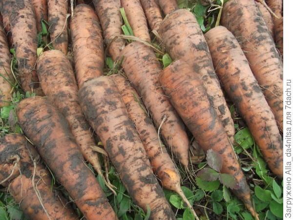 Прошлогодний урожай моркови