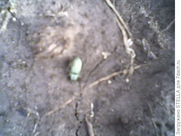 зеленый жучок  поедающий все, даже люпины!