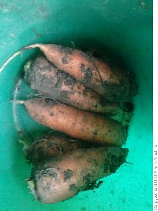 морковка-гигантус