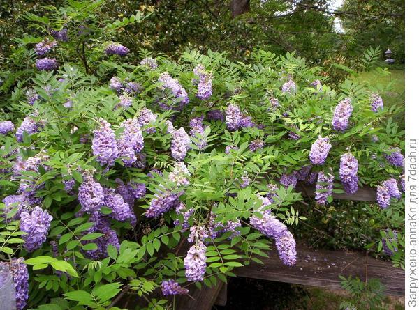 Глициния кустарниковая (Wisteria frutescens)
